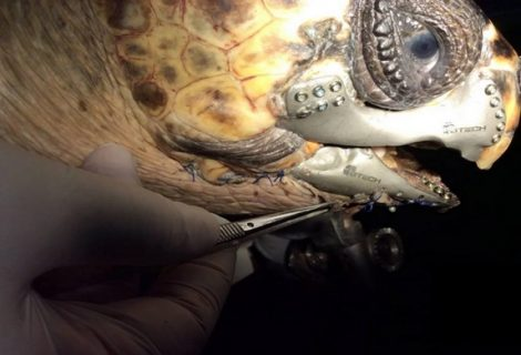 Injured Turtle Gets 1st 3D Printed Titanium Jaw Implant