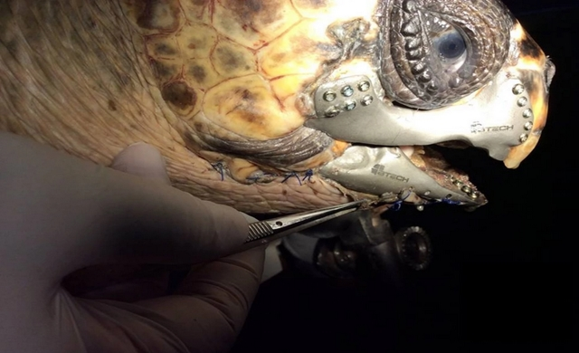 Injured Turtle Gets 1st 3D Printed Titanium Jaw Implant